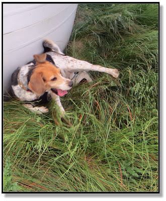 Auch ein Beagle muss sich mal ausruhen