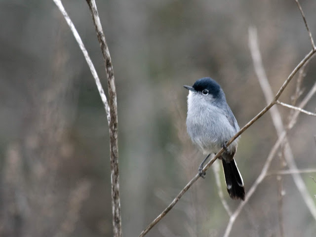 Photo of California Gnatcatcher at Stonebridge Trail