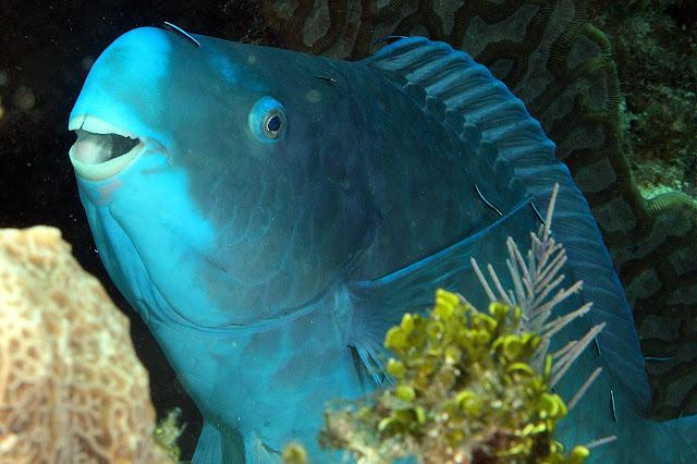 De coloração inteiramente azul, os adultos desenvolvem um focinho proeminente, que dá a eles a aparência simpática de um sorriso . Tem em média de 30 a 73 centímetros de comprimento, mas algumas vezes chega a alcançar 1,2 metros de comprimento.  É um peixe-papagaio, encontrado em recifes de profundidade rasa nas regiões tropicais e subtropicais do Oceano atlântico e do Mar Caribenho.