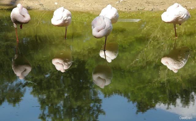 Flamants nains, Parc des Oiseaux de Villars-les-Dombes