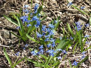 Petites fleurs bleues échappées des jardins