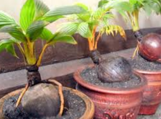 Cuma Petani Cara Membuat Bonsai Kelapa