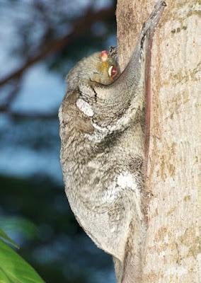 Sunda Colugo (Galeopterus variegatus)