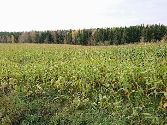 Maissipelto Hauninen