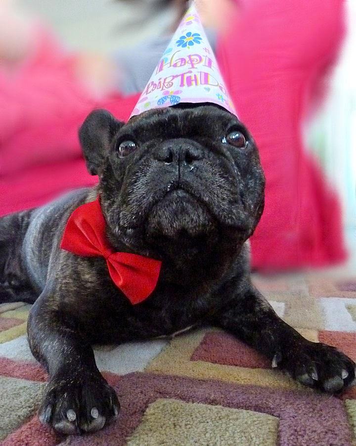 Two French Bulldogs: Jazzi's Taco Day + HAPPY BIRTHDAY