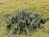 [Ranunculaceae] Aconitum napellus - Monk's-Hood, Wolfsbane (Aconito napello)