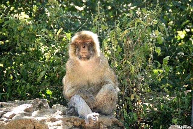 Uno dei macachi che vivono nella Foresta delle Scimmie di Rocamadour