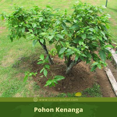 Ciri Ciri Pohon Kenanga