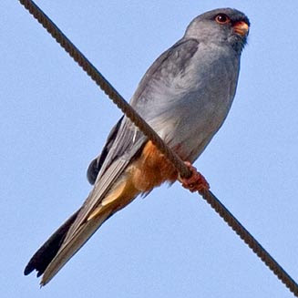 halcon de Amur Falco amurensis