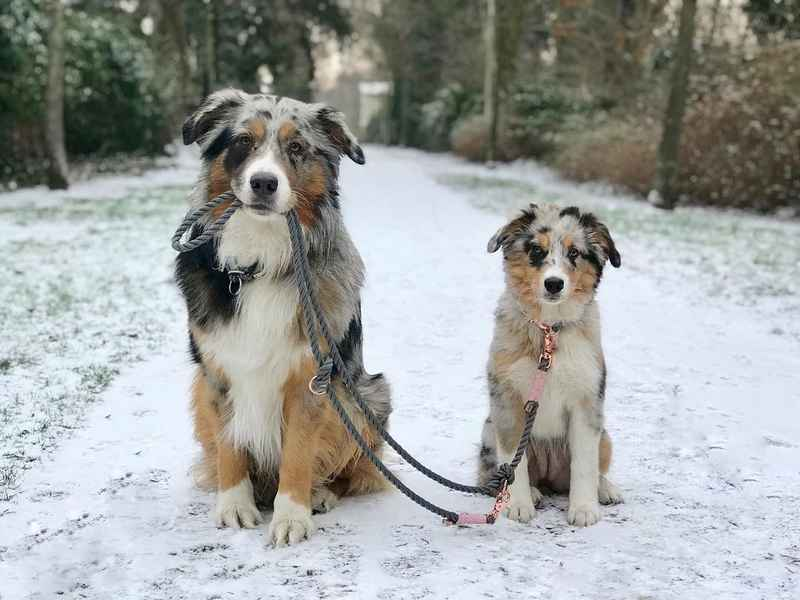 Tips for taking care of your dog safely outdoors - Australian Shepherd