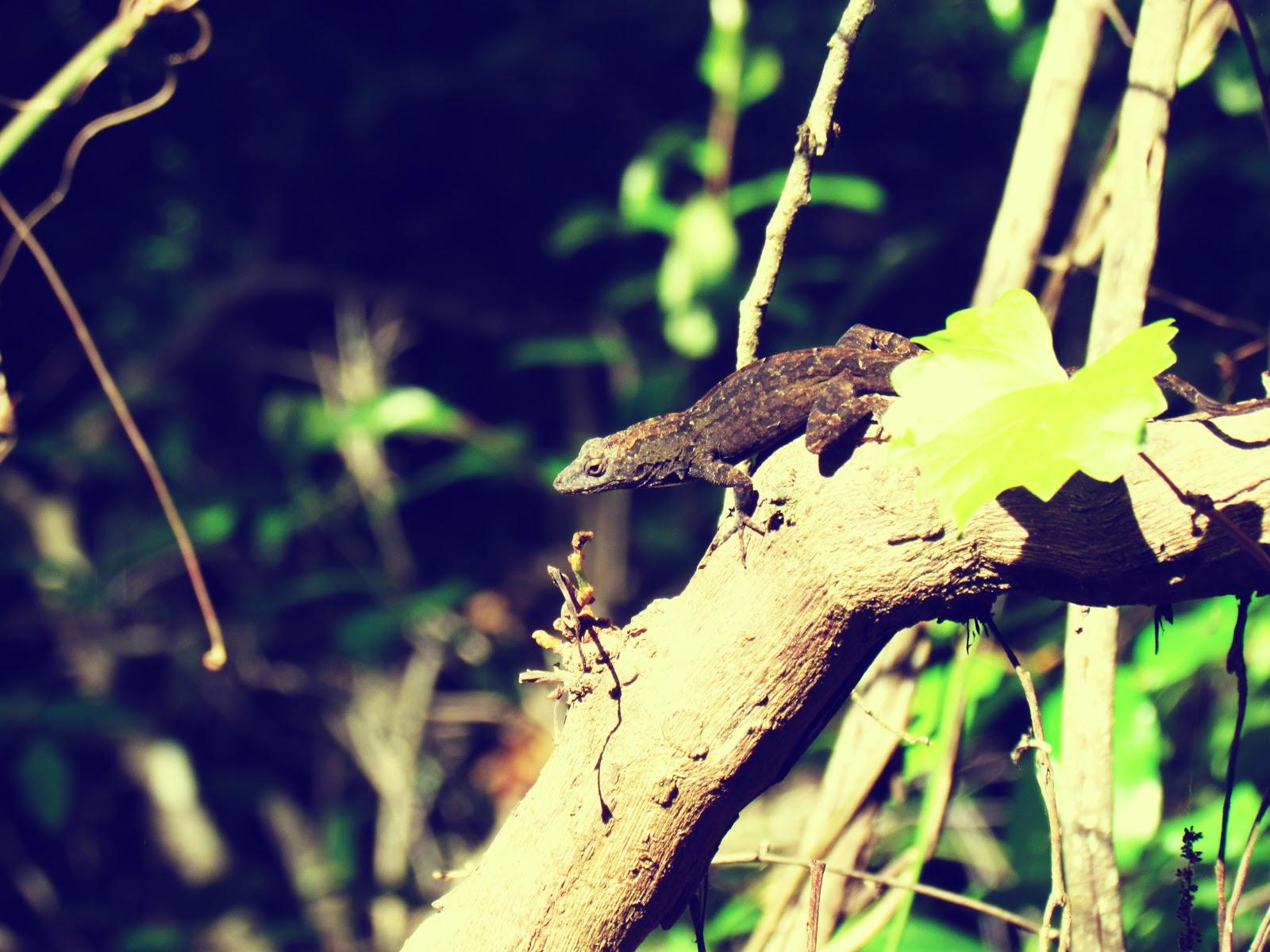 A lizard hanging in the forest on a brambling tree branch in Hammock Park in Dunedin, Florida Near Honeymoon Island