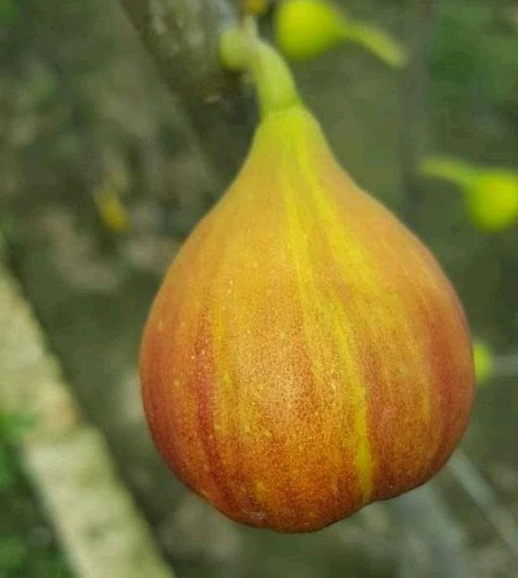 bibit buah tin Red lebanes Mataram