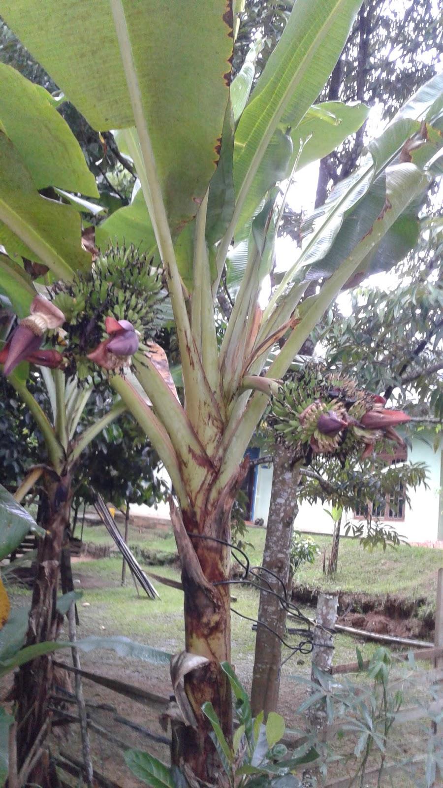Ciri Ciri Pohon Pisang : pohon, pisang, Lho.!, Pohon, Pisang, Berbuah, Tujuh, Tandan, Berwarna