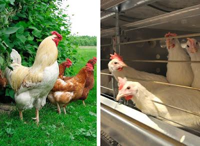 домашняя курица и куры на птицефабрике