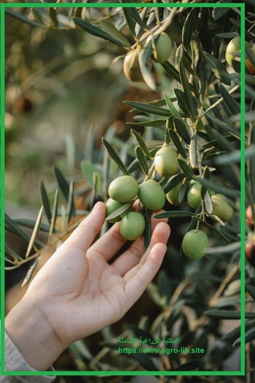 كيفية تقليم أشجار الزيتون