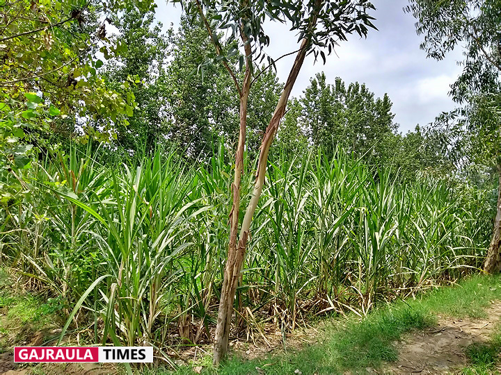 sugarcane-in-the-field
