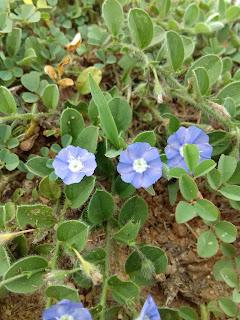 White blue flower