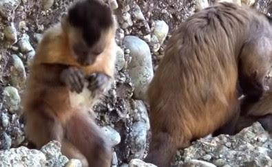 """""""Ferramentas"""" produzidas por Macacos-prego geram questionamento arqueológico"""