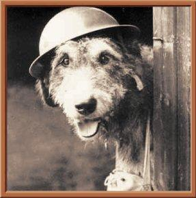 25 January 1941 worldwartwo.filminspector.com Chum the Airedale war dog hero