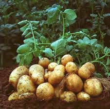 Harvested potatoes on the ground