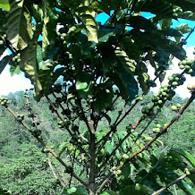 Gunung Porang Pangandaran, Wisata Agro dengan Kopi Luwak yang Khas