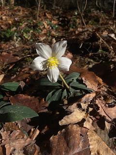 [Ranunculaceae] Helleborus niger - Christmas rose.