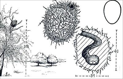 Crestudo Coryphistera alaudina