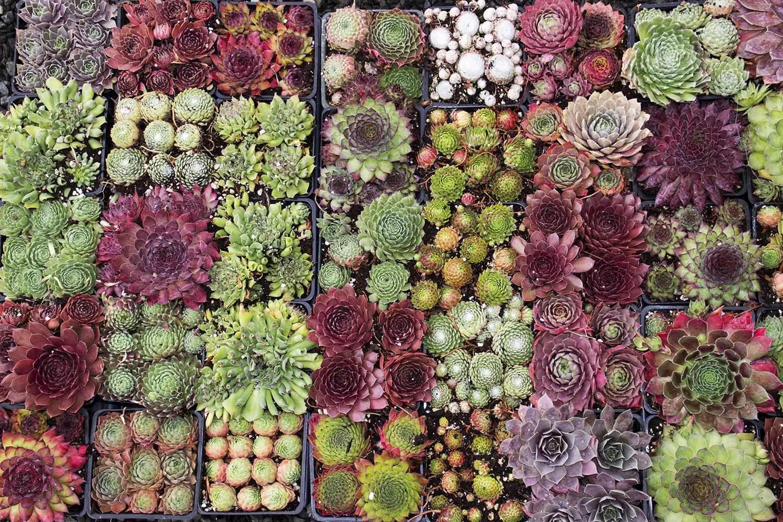 Fall Succulent Wallpaper Succulents Plants Sydney