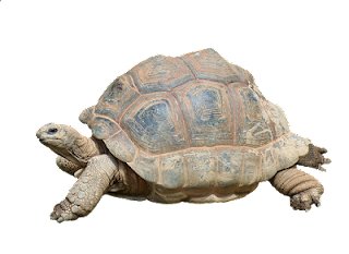 Tortoise in Hindi