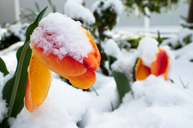 Snow on a yellow and orange tulip.