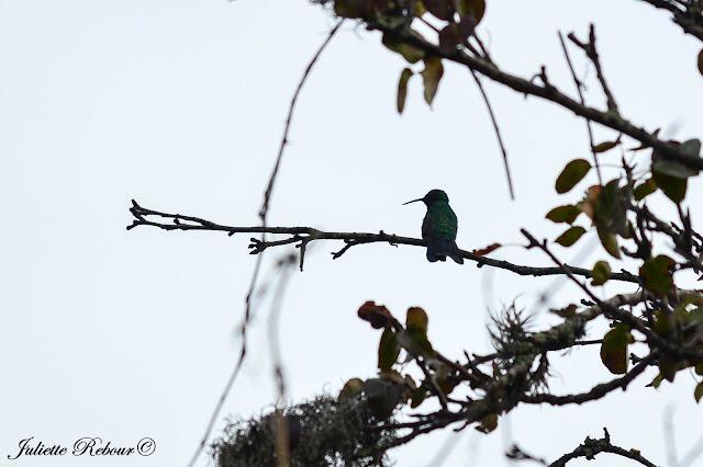 Colibri au Pérou