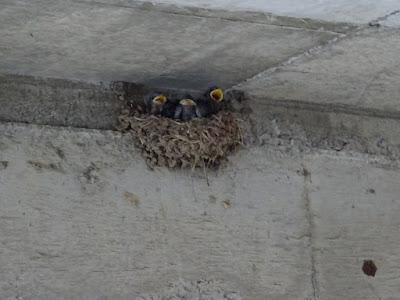 巣から落ちていた雛を巣に戻した後も、元気に餌をもらっています。