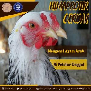 gambar Ayam Arab
