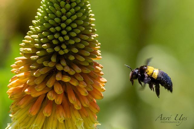 Bumble Bee in Flight Kirstenbosch