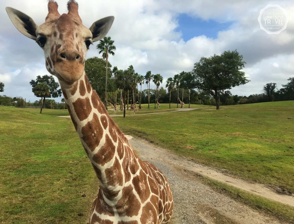 Parque Busch Gardens Safari serengeti girafas