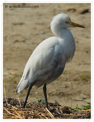 Close up, Cattle Egret,