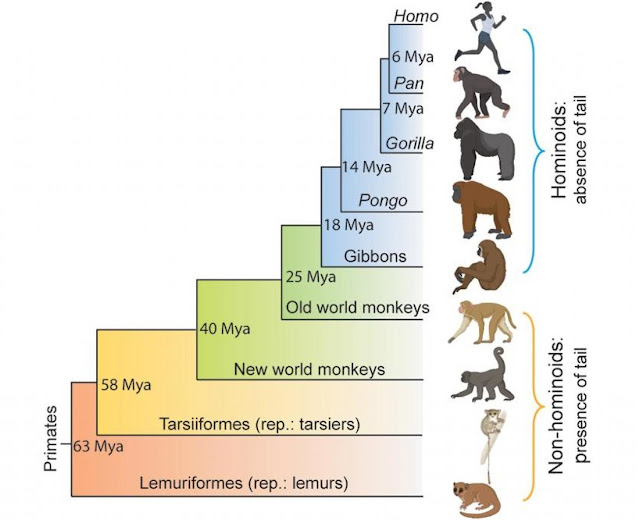 The genetic basis of tail-loss evolution in humans and apes