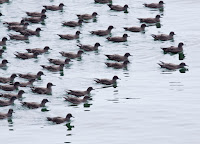 Sooty Shearwaters – Avila, CA – Sept. 2010 – photo by Marlin Harms