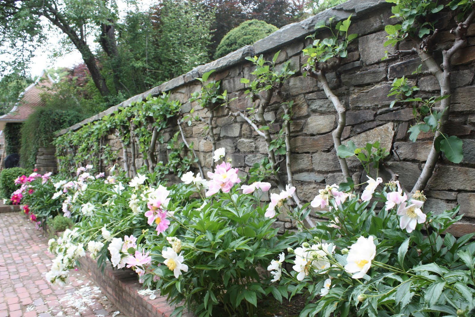 How to grow peonies the garden of eaden for Planting a garden