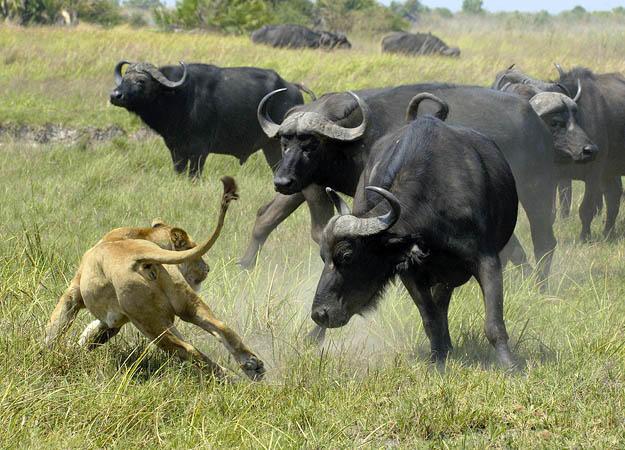10 Hewan Paling Agresif di Dunia