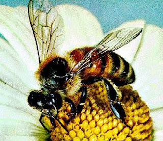 Abeja chupando el néctar de la flor