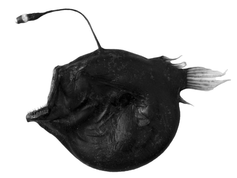 Bufoceratias microcephalus