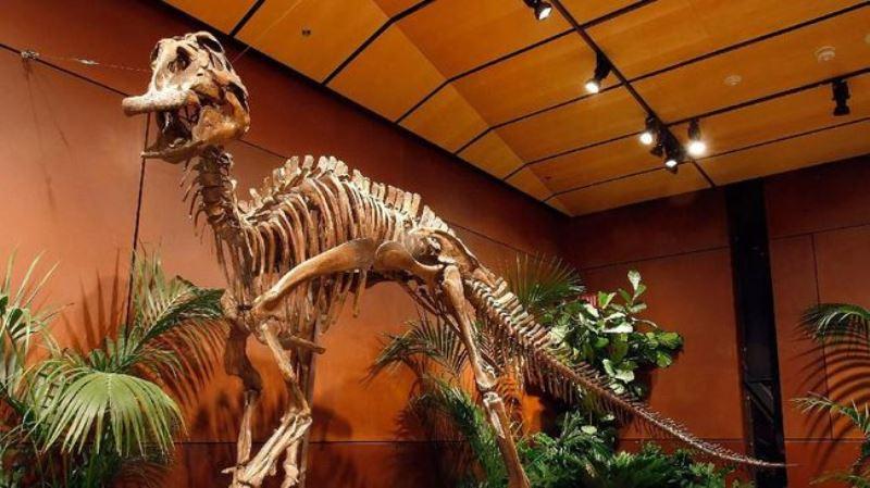 Peneliti Temukan Dinosaurus Moncong Bebek Terbesar Berusia 72 Tahun di Jepang