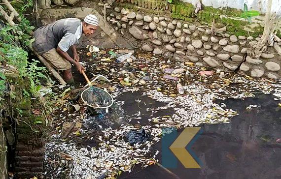 ribuan-ikan-mendadak-mati-di-sungai-pekalongan