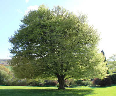 cut leaf beech
