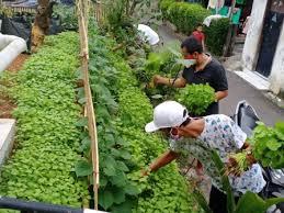 Pegiat Urban Farming di Duren Sawit Panen Sayur Mayur