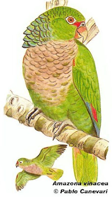 Vinaceous breasted Parrot