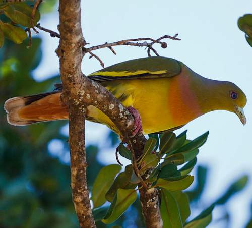 Indian birds - Picture of Orange-breasted green pigeon - Treron bicinctus