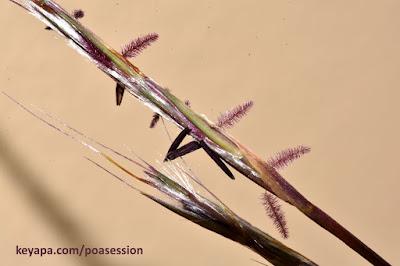 Schizachyrium scoparium - Little Bluestem Grass