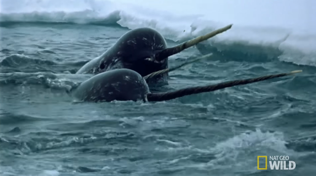 Narwhal face National Geographic Wild horn tusk tooth swimming in water